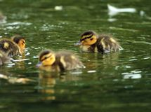 Young ducklings on water. Young ducklings swimming on water surface ( Anas platyrhynchos Royalty Free Stock Photography