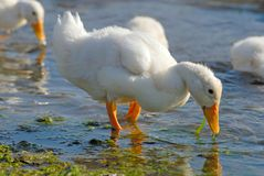 Young ducks Royalty Free Stock Images