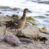 Young ducks Stock Photos