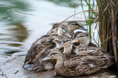 Young ducks. A group of young mallards piled together on a rock. Green water and reeds royalty free stock photos