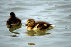 Young ducks Royalty Free Stock Photo