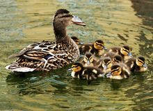 Young ducks with mother. In spring Royalty Free Stock Images