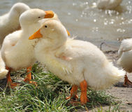 Young ducks near the water Stock Photography