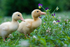 Young ducks Stock Images