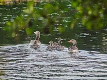 Young ducks swimming on the lake stock photography