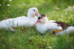 Young ducks on traditional free range poultry farm Royalty Free Stock Photography