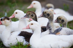 Young ducks on traditional free range poultry farm Stock Photos