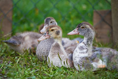 Young ducks on traditional free range poultry farm Stock Images