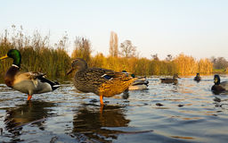 Young ducks in water Royalty Free Stock Photography