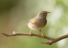 Young Dunnock. Portrait of a young Dunnock perched on a branch Stock Images