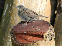 Young Dunnock Stock Images