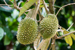 Young durian Stock Images