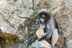 Young dusky langur in hug of mother royalty free stock image