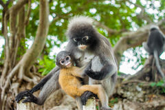 Young dusky langur in hug of mother Royalty Free Stock Photography