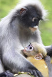 The young dusky langur sucking up milk from  mother. The young dusky langur sucking up milk Royalty Free Stock Photos