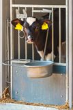 Young Dutch black and white calf in a steel farm stable Stock Image