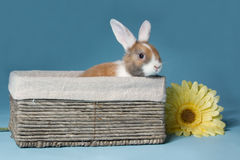 Young mini-lop rabbit in basket Stock Image