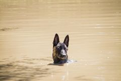 Young Dutch Shepherd or Belgian Malinois Dog in muddy water. Face herding dog puppy with brindle coloring in muddy water, swimming in a dirty body of water Stock Photo