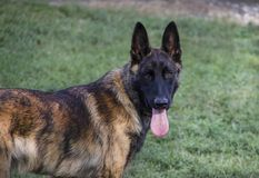 Young Dutch Shepherd or Belgian Malinois Dog Portrait. Portrait of the face and upper body of a herding dog puppy with brindle coloring. Livestock Guardian Dog Royalty Free Stock Photo