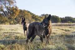 Two dogs, one young, one old, in a meadow royalty free stock photo