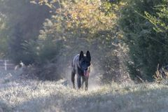 Dog in stalking position on dewy morning stock images