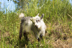 Young dwarf goat eating. Young African dwarf goat eating green grass Royalty Free Stock Photography