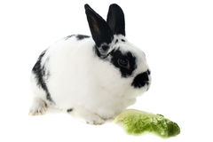 Young dwarf rabbit royalty free stock photography
