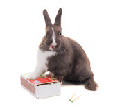 Young dwarf rabbit licked on a box of matches. Isolated on white Stock Photo