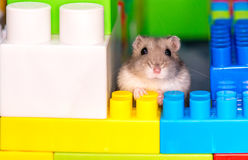 Young dzungarian hamster in the clorful toy cubs Stock Photo