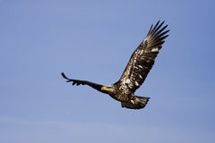 Young Eagle. Young Bald Eagle flying over head to find a place to hang out Stock Image