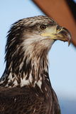 Young Eagle. A young eagle close up in Alaska Royalty Free Stock Photography