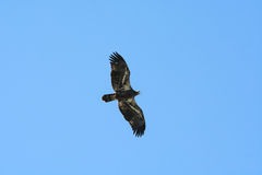 Young Eagle. Flying and looking, beautiful wings to see Royalty Free Stock Photos