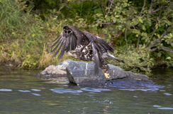 Young eagle flying over the water Royalty Free Stock Photos