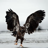 Young Eagle ( Haliaeetus leucocephalus)  landed Stock Photo