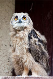 Young eagle-owl Royalty Free Stock Images