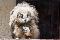 Young eagle-owl Royalty Free Stock Photography