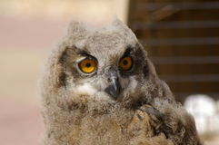 Young Eagle Owl on perch Royalty Free Stock Image