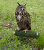 Young Eagle owl resting after a show. Young Eagle owl resting after a falconry show Royalty Free Stock Photography