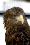 Young eagle portrait. Young eagle against the urban background Stock Photo
