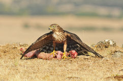 Young eagle poses with food in the field Royalty Free Stock Image