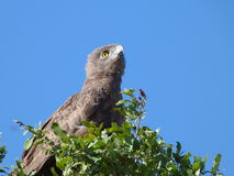 Young Eagle. This eagle  was   photographed in  the  Kruger National  Park in  South Africa Stock Photos