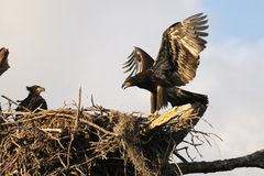 Young eagles in the nest. A baby American Bald Eagle looks at it's slightly more advanced sibling as it attempts to fly Stock Images