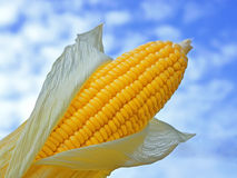 Young ears of corn against with blue sky Stock Images
