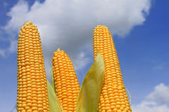 Young ears of corn against the sky Royalty Free Stock Image