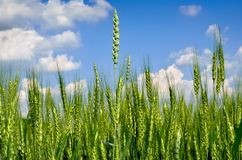 Young ears of grain against a blue sky.  Royalty Free Stock Photos