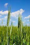 Young ears of grain against a blue sky.  Royalty Free Stock Photo
