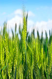Young ears of grain against a blue sky Royalty Free Stock Photo