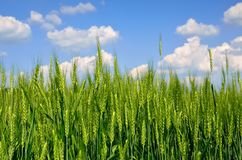 Young ears of grain against a blue sky.  Royalty Free Stock Images