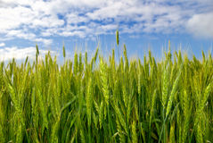 Young ears of grain on the background of blue sky.  Stock Image