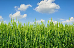 Young ears of grain on the background of blue sky Royalty Free Stock Image